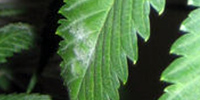 Мучнистая роса на марихуане