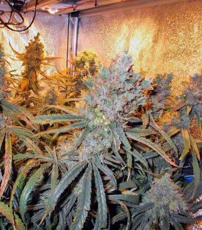семена конопли Liberty Haze