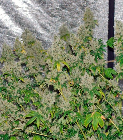 Семена сорта K-Train fem (Green House Seeds)