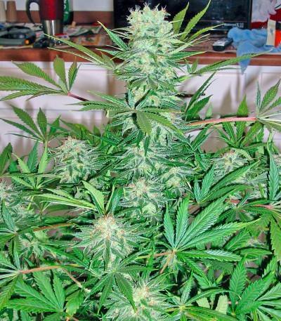 Семена сорта G13 Haze fem (Barney's Farm)
