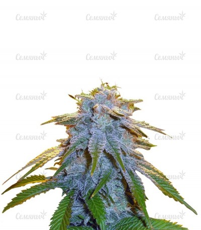 Семена сорта Sweet Tooth fem (Barney's Farm)