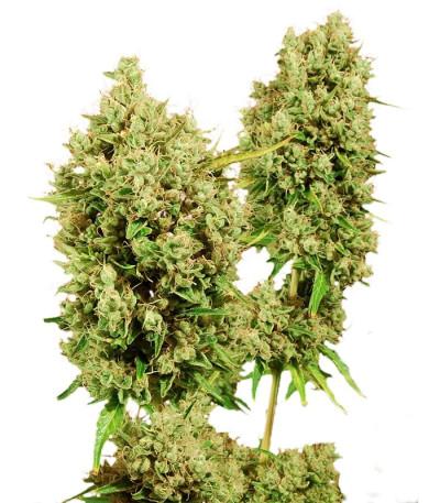 Семена сорта LSD fem (Barney's Farm)