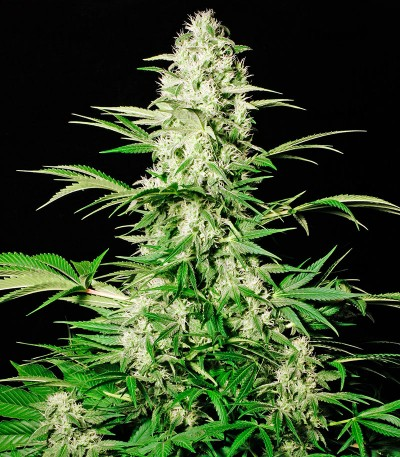 Семена сорта White Russian fem (Serious Seeds)
