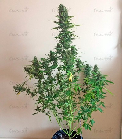 Семена сорта White Widow XXL Autoflowering fem