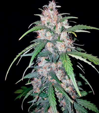 Семена сорта Hashchis Berry (Cheese Berry) fem
