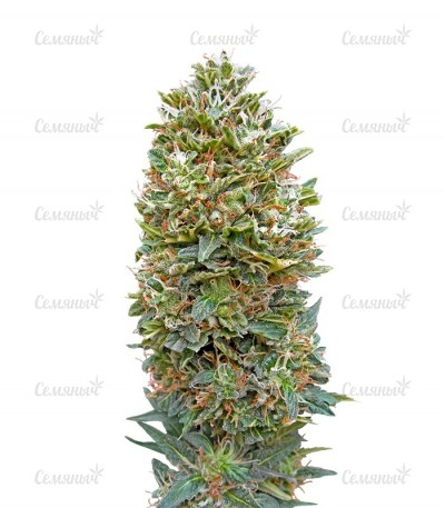 Семена сорта Auto Bubble Gum fem (00 Seeds)