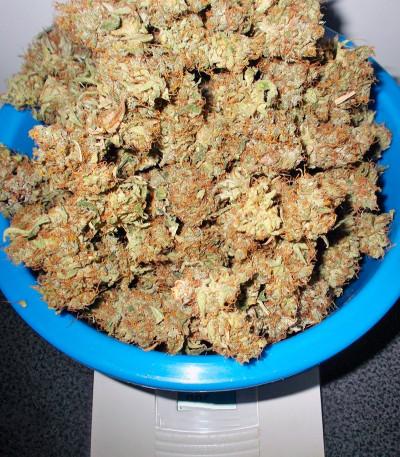 Семена сорта Liberty Haze fem