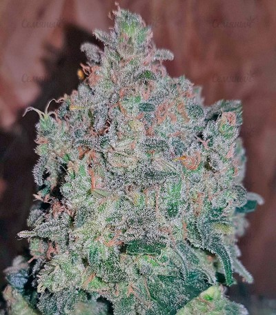 Семена сорта Sweet Trainwreck Auto fem (Sweet Seeds)