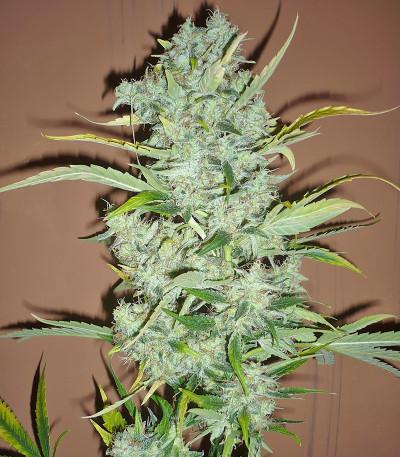 Семена марихуаны Black Widow