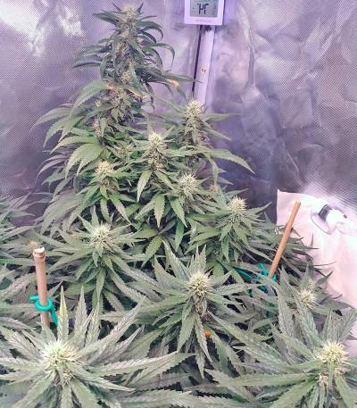 Семена сорта Jack 47 fem (Sweet Seeds)