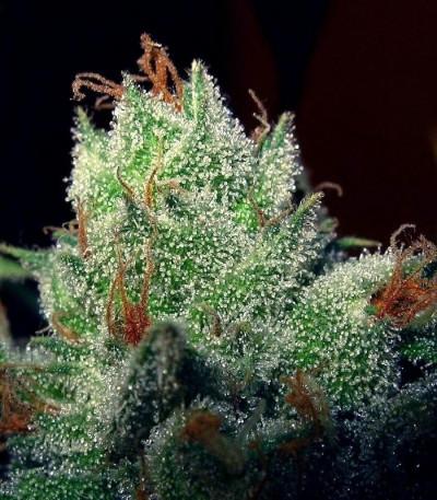 Семена сорта Super Lemon Haze fem (Green House Seeds)