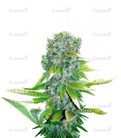 Семена сорта Auto Love Cheese fem (VIP seeds)