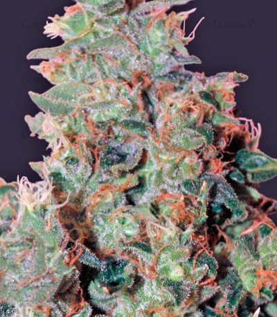 Семена сорта Tangerine Dream fem (Barney's Farm)