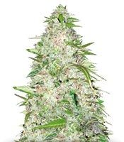 Семена сорта Auto Ultra Power Plant fem (Victory Seeds)