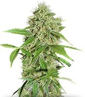 Семена сорта Northern Lights Auto fem (Green House Seeds)