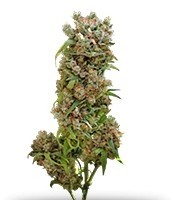 Семена сорта White Spanish fem (VIP seeds)