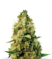 Семена сорта Cheesy Mist Tree fem (KFC Seeds)