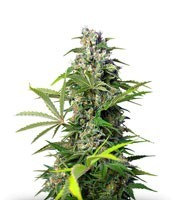 Семена сорта Gorilla Girl fem (Sweet Seeds)
