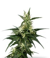 Семена сорта Neville's Haze fem (Green House Seeds)