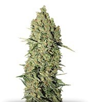 Семена сорта Chronic fem (Serious Seeds)