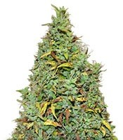 Семена сорта Auto Nefertiti fem (Pyramid Seeds)