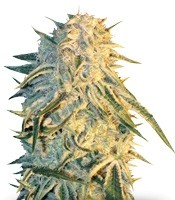 Семена сорта ICE fem (Female Seeds)