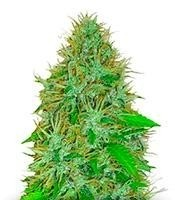 Семена сорта 2 Fast 2 Vast auto fem (Heavyweight Seeds)