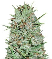 Семена сорта Wembley fem (Pyramid Seeds)
