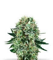 Семена сорта Bubble Kush fem (Royal Queen Seeds)