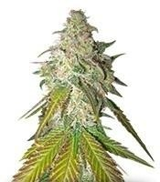 Семена сорта Sour Diesel fem (Royal Queen Seeds)