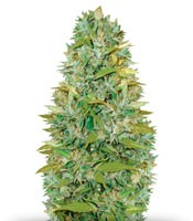 Семена сорта Auto Biggest Bud fem (Victory Seeds)