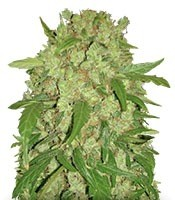 Семена сорта Auto Wembley fem (Pyramid Seeds)