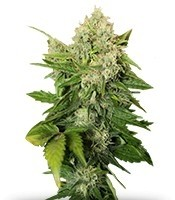 Семена сорта Chronic reg (Serious Seeds)