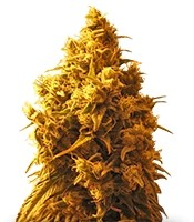 Семена сорта Cannatonic fem (Resin Seeds)