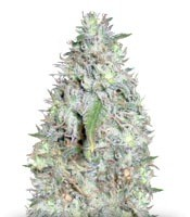 Семена сорта Kali´s White Shadow fem (KFC Seeds)