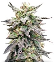 Семена сорта Dieseltonic fem (Resin Seeds)
